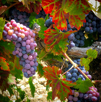 Amador Harvest Grapes IX