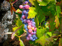 Amador Harvest Grapes X