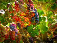 Amador Wine Grapes III
