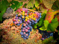 Amador Harvest Grapes XI