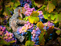 Amador Harvest Grapes I