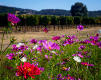 Napa Valley Wildflowers
