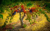 Amador Harvest Wine Grapes