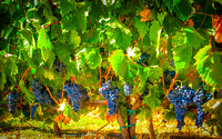 Amador Vineyard Grapes